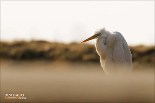 Great Egret | by Nicola Destefano