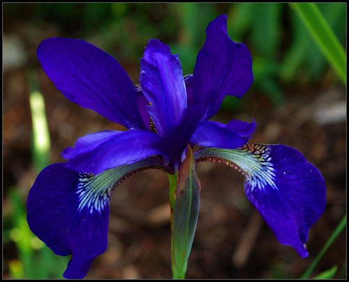 Purple/Blue Iris | by Jerry Spain