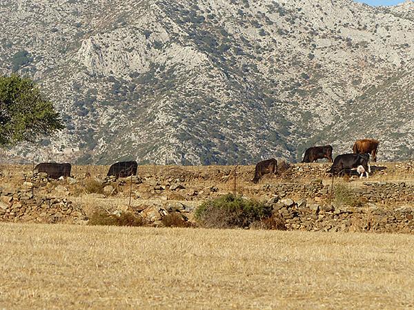 encore des vaches
