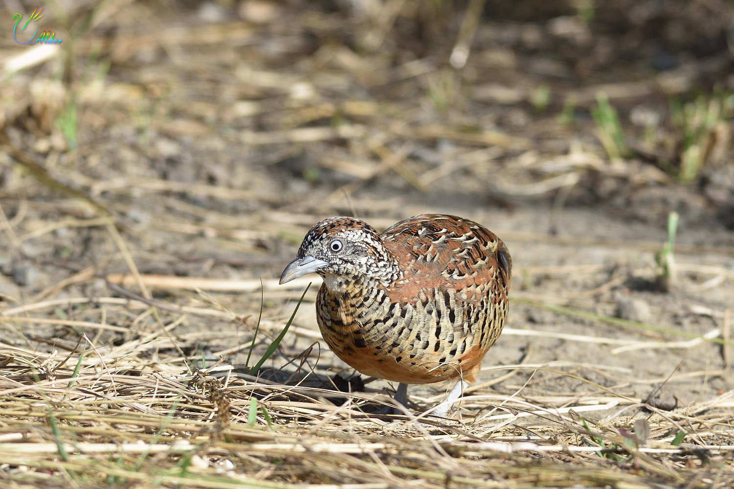 Barred_Buttonquail_2500