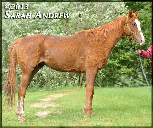 4-year-old Thoroughbred gelding- intake photos for Helping Hearts Equine Rescue | by Rock and Racehorses