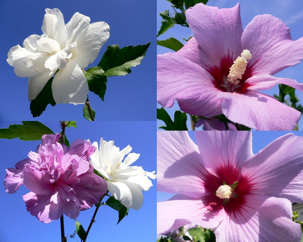 Hibiscus syriacus national flower of south korea hibiscus flickr hibiscus syriacus national flower of south korea by luigi strano izmirmasajfo