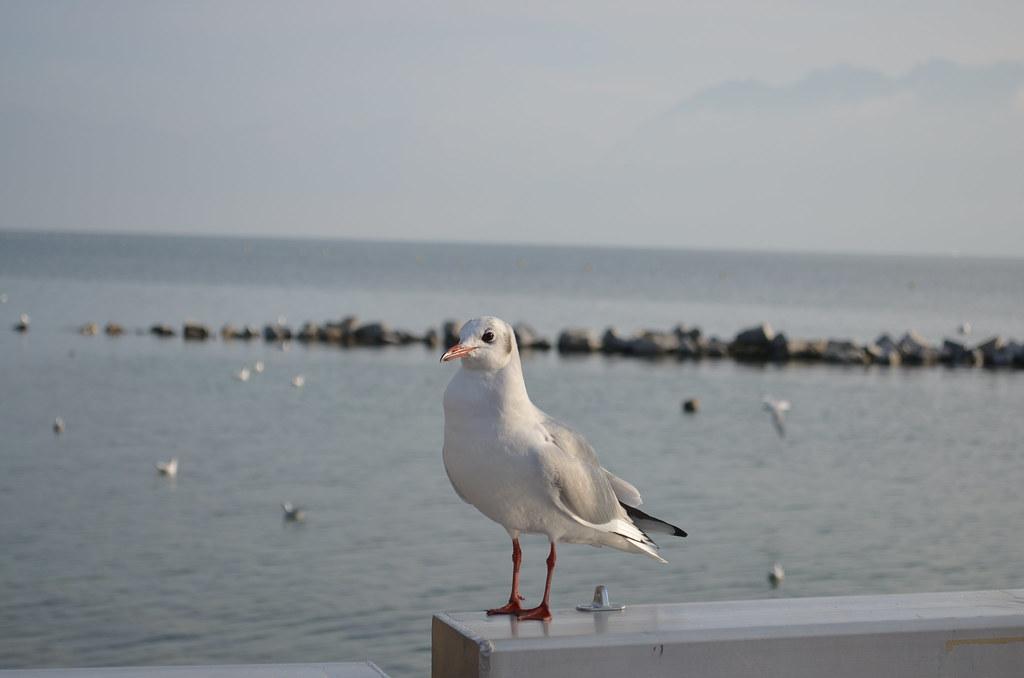Image result for 海鸥