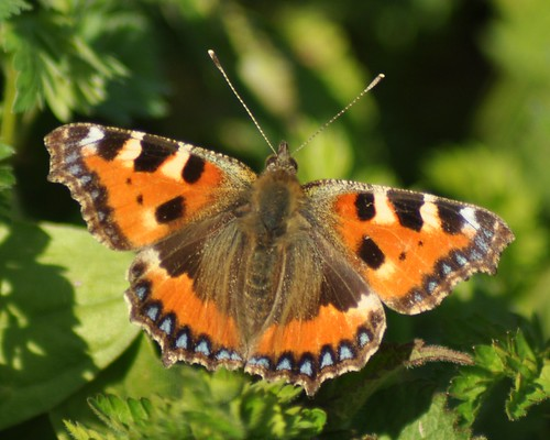 Small Tortoiseshell Butterfly (Aglais urticae) | by marmendy mill