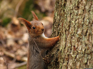 20120421_2 Red squirrel (Sciurus vulgaris) | Gothenburg, Sweden | by ratexla