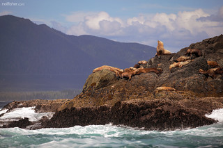 Steller sea lions | by neil.fisher