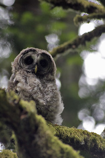 baby barred owl | by fog and swell
