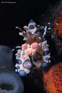 Harlequin Shrimp | by Alvin Toh