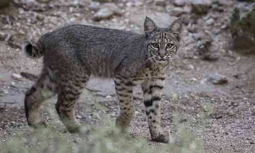 Young Bobcat | by searchnetmedia