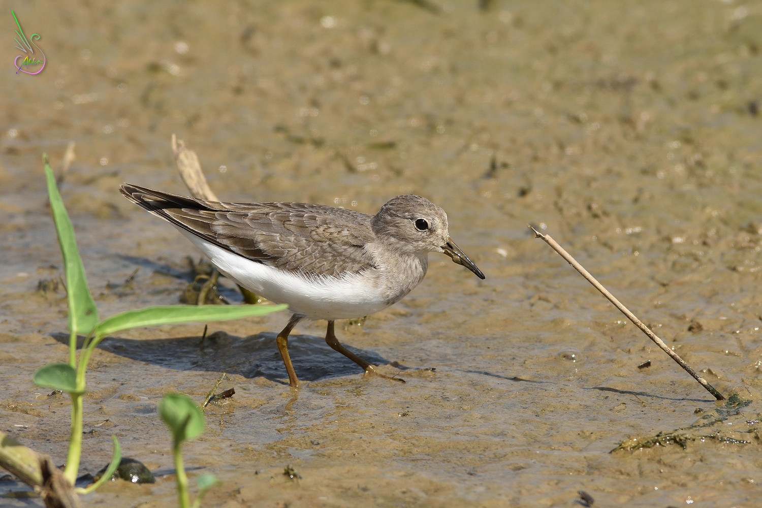 Temminck_Stint_0787
