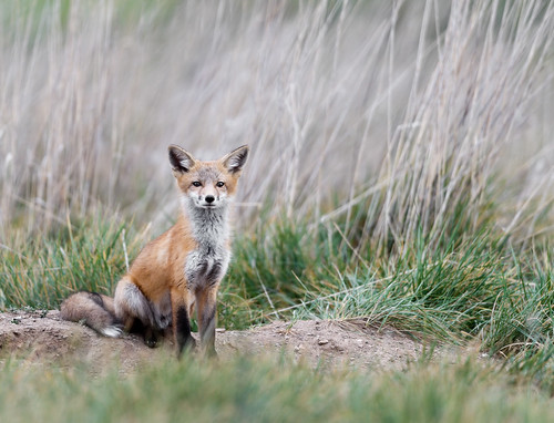 Kit Fox | by SheltieBoy