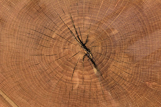 Growth rings indicate Auburn Oaks were 83-85 years old | by Auburn University