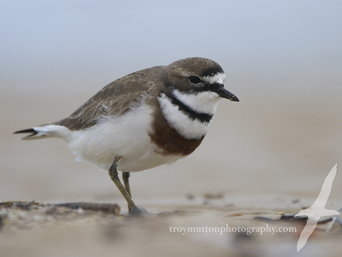 Double-banded Plover | by Mister Troy