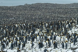 Lots of Penguins | by brian.gratwicke