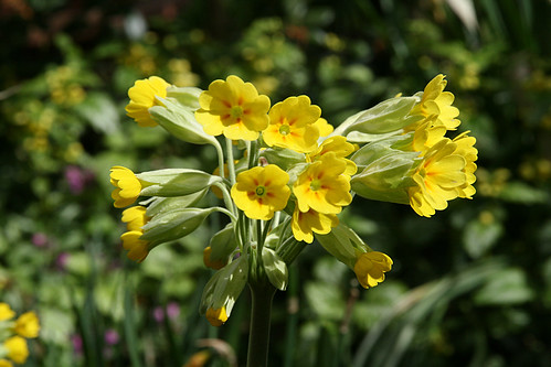 Cowslip | by judibluemed