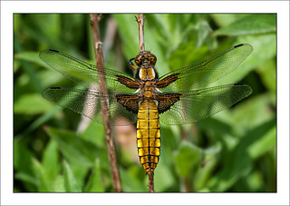 142/366 Broad-bodied chaser | by Mister Oy