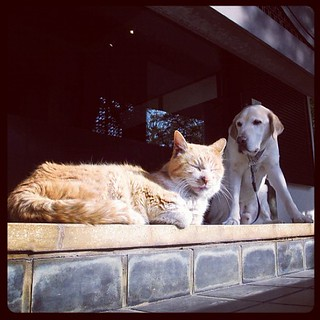 コンニチワ #dog #labrador #cat | by henrystelrooy