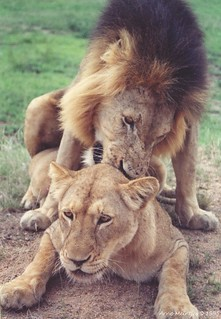 Lions mating | by Arno Meintjes Wildlife