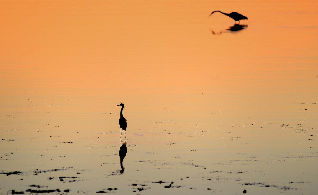 Herons at Low Tide