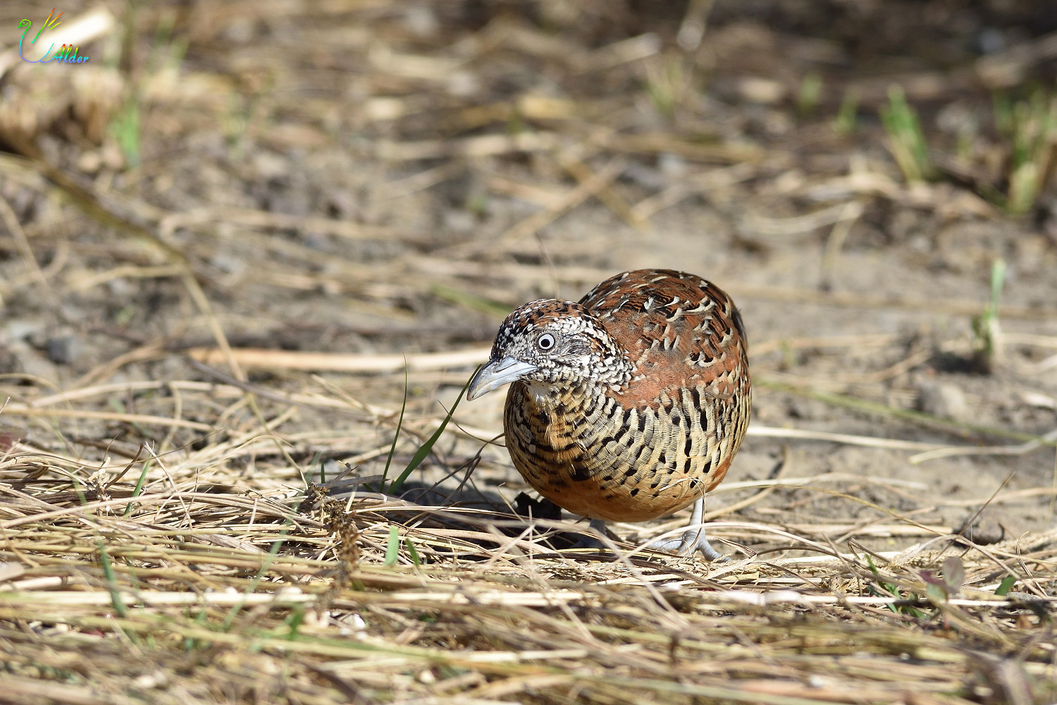 Barred_Buttonquail_2488