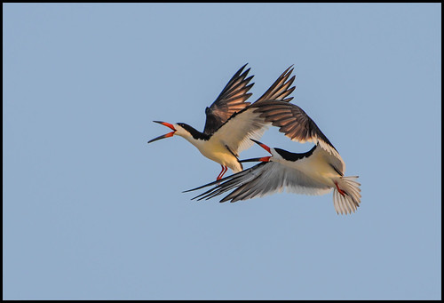 Black Skimmer Dogfight 3 | by Joseph M. Campbell