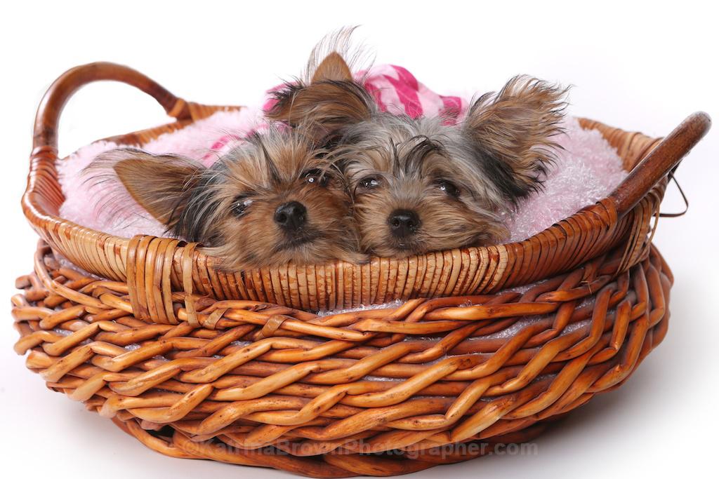 Yorkshire Terrier Puppies Dressed Up In Pink Cute Yorkshir Flickr