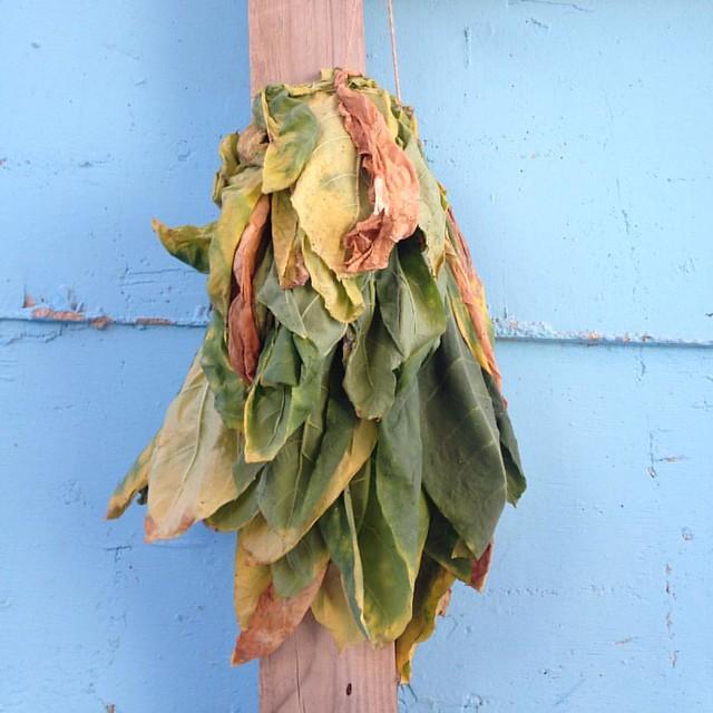 #tobacco #leaf #curing. #tarshiha