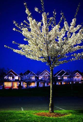 Cherry Blossoms at Night in Steveston's Garry Point Park | by TOTORORO.RORO