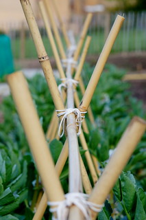 Broad beans bamboo | by the.gray.scale