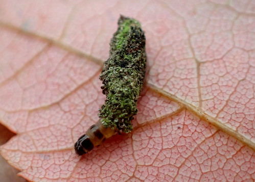 Bagworm Moth Larva in Case