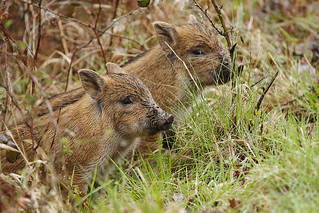 Wild Boar Piglet 01 | by Mike G Photos