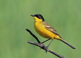 Yellow Wagtail | by AZ Birdybird
