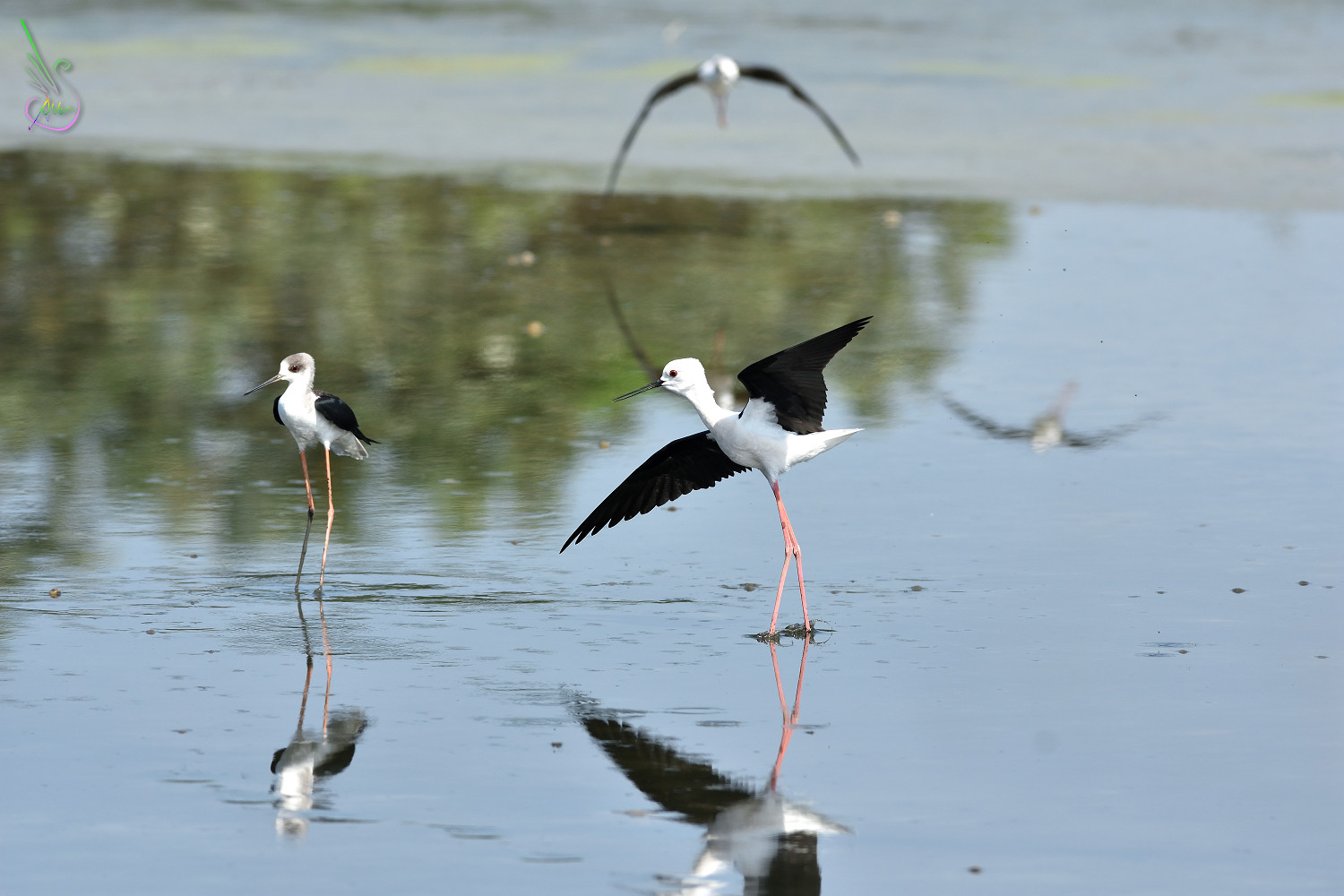 Black-winged_Stilt_1438