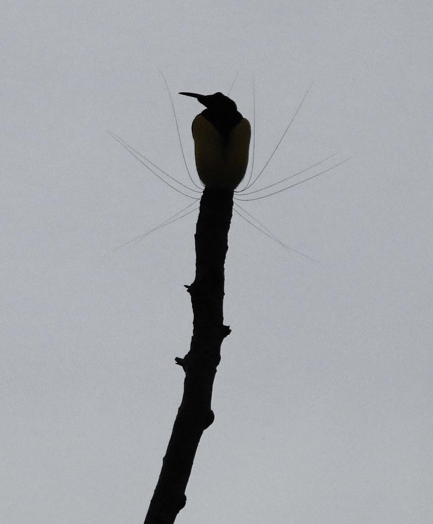 Twelve-wired Bird of Paradise (male) - Nimbokrang, West Pa… | Flickr