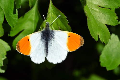 Orange-Tip | by @JPD_Photography