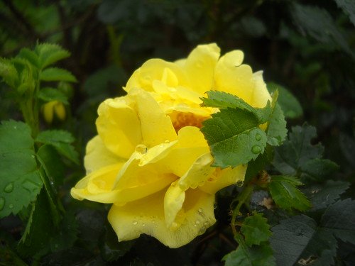 first rose | by Lizzie~Belle