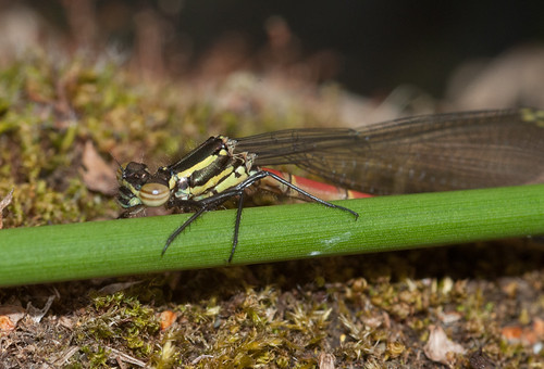 Large red Damselfly | by markhows
