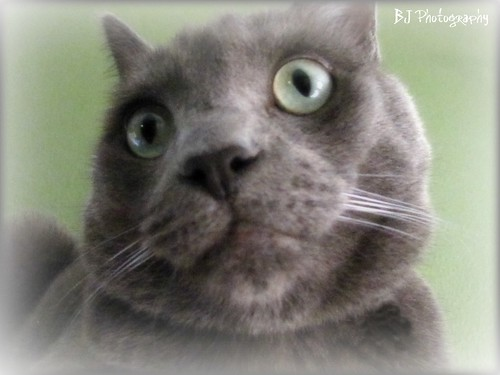 Russian Blue Mix | by BJ Photography1