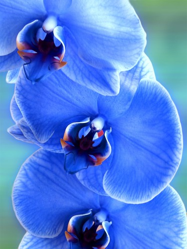 Blue orchids | by laurarnmd