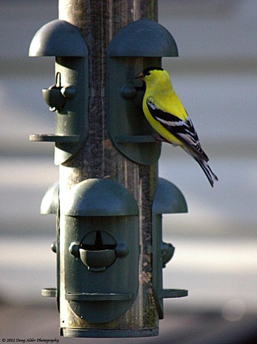 goldfinch_feeder_2012-05-12 | by DougAlder