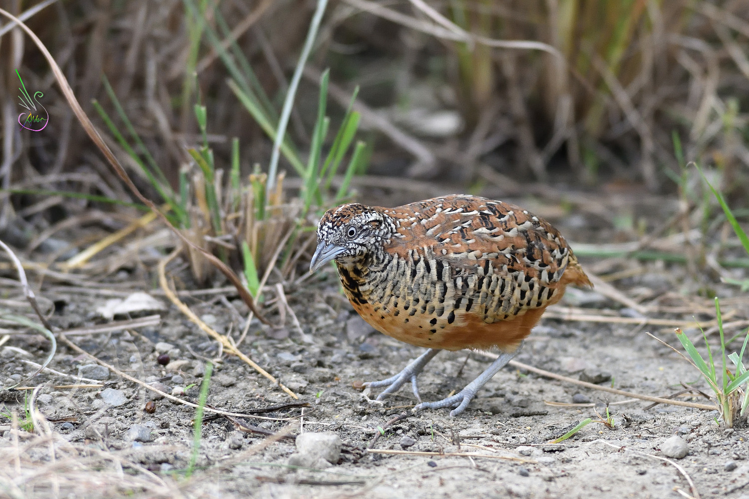 Barred_Buttonquail_1748