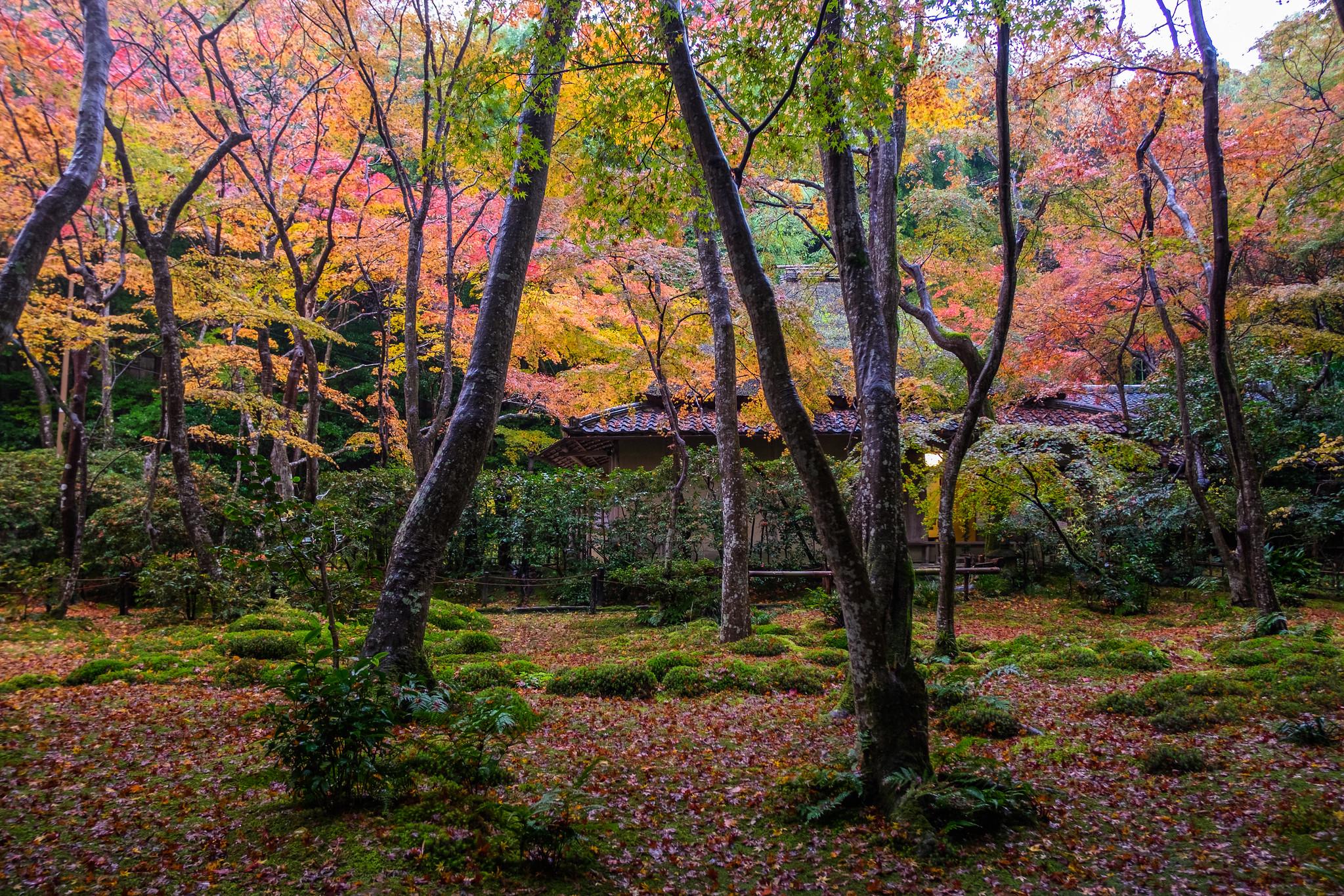 momiji '16 - autumn foliage #3 (Gio-ji temple, Kyoto)