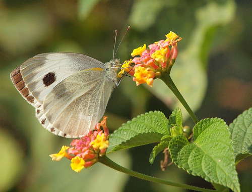 how to get rid of white cabbage butterfly
