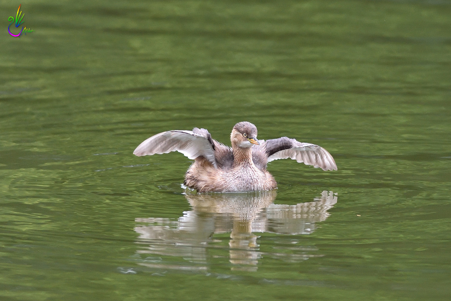 Little_Grebe_1171