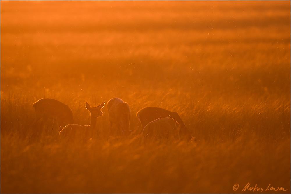 Markus Lenzen rothirsche im abendlicht ml 00945 20160924 markus lenz flickr