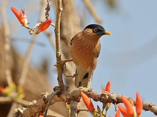 Brahminy Starling | by SivamDesign