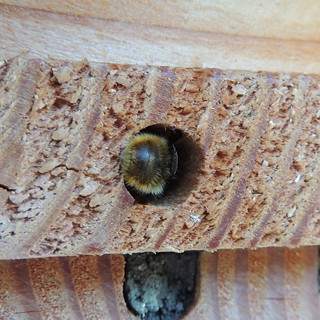 Red mason bee (Osmia bicornis) nest being sealed, Sandy, Bedfordshire | by orangeaurochs