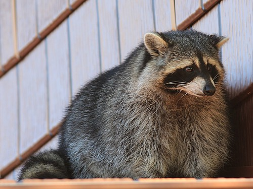 Raccoon with a sad face | Sad face raccoon sitting on a ...