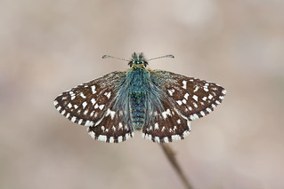 Grizzled Skipper (Pyrgus malvae) | by Ray Seagrove