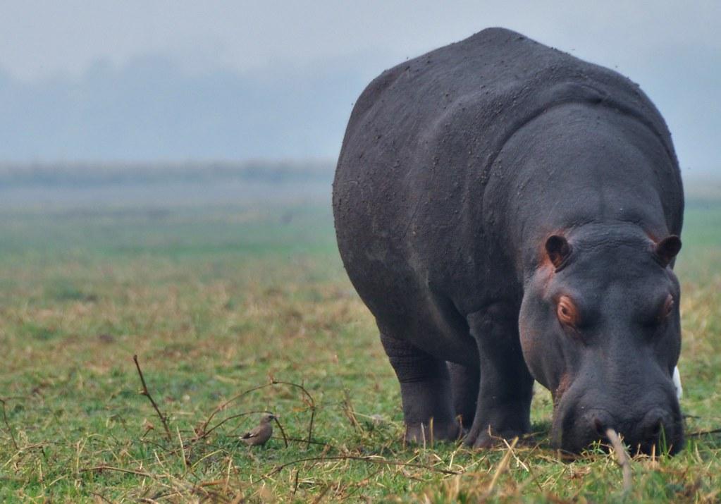 Grazing Hippo - Namibia